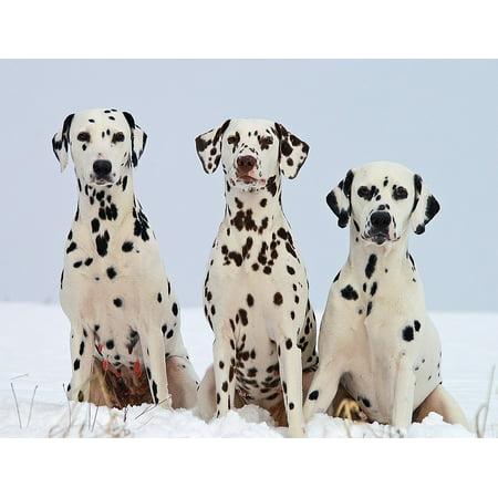 Canvas Print Canine Dalmatian Pets Domestic Dogs Portraits Stretched Canvas 10 x 14