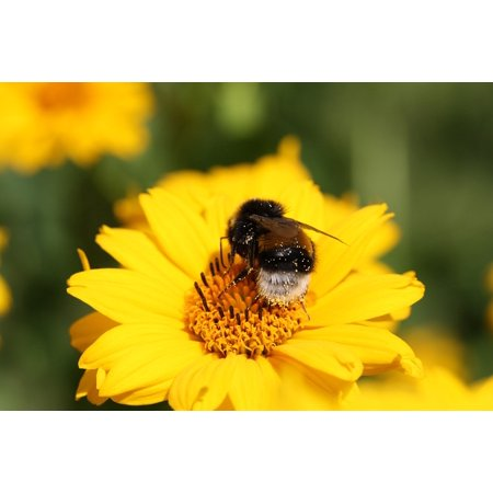 LAMINATED POSTER Bloom Blossom Pollen Nature Close Hummel Insect Poster Print 24 x 36
