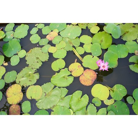 - LAMINATED POSTER Water Lily Purple Bloom Blossomed Blossom Pond Poster 24x16 Adhesive Decal
