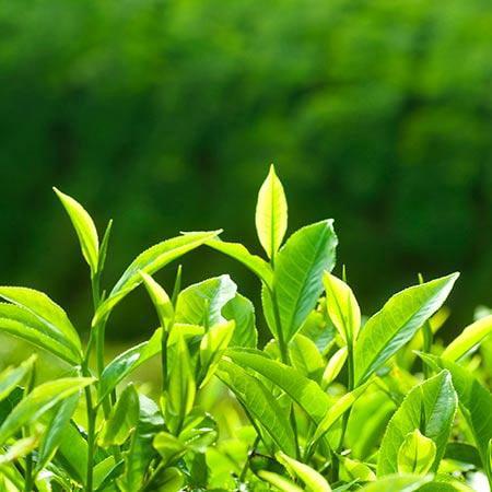 Tea Plant - 1 Gallon (1 Young Plant)