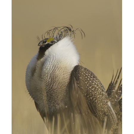Greater Sage-Grouse (Centrocercus urophasianus) Charles Russell Wildlife Refuge Montana United States of America Stretched Canvas - Rebecca Grambo  Design Pics (14 x 17)
