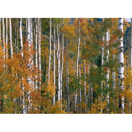 Aspen trees in fall colors Lost Lake Gunnison National Forest Colorado Poster Print by Tim Fitzharris - 80s In Aspen