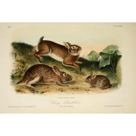 Quadrupeds of N America 1851 Grey Rabbit Canvas Art - JJ Audubon (24 x 36) ()