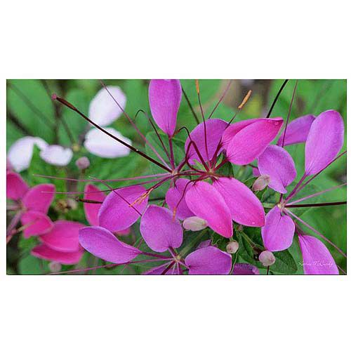 "Trademark Art ""Cleome"" Canvas Art by Kathie McCurdy, 24x47"