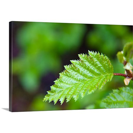 Great BIG Canvas Premium Thick-Wrap Canvas entitled Close up of a young Alder tree leaf, Shoup Bay State Marine Park, Prince William
