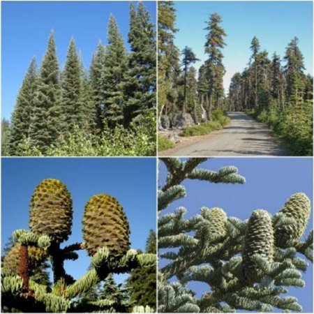 Shasta Red Fir Tree Seeds Abies Magnifica Shastensis 25 Seeds