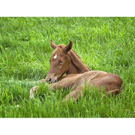 Thoroughbred Foal Lying in Grass, Donamire Horse Farm, Lexington, Kentucky, Usa Print Wall Art By Adam