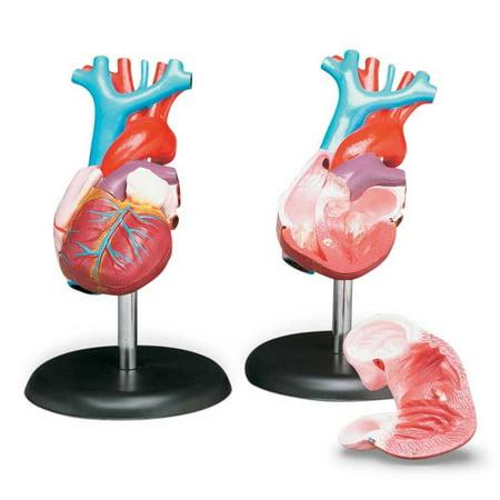 Anatomical Budget Life Size Heart Model