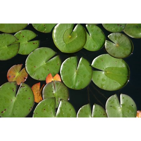 LAMINATED POSTER Water Plant Nature Water Waterlily Pond Garden Poster Print 24 x 36