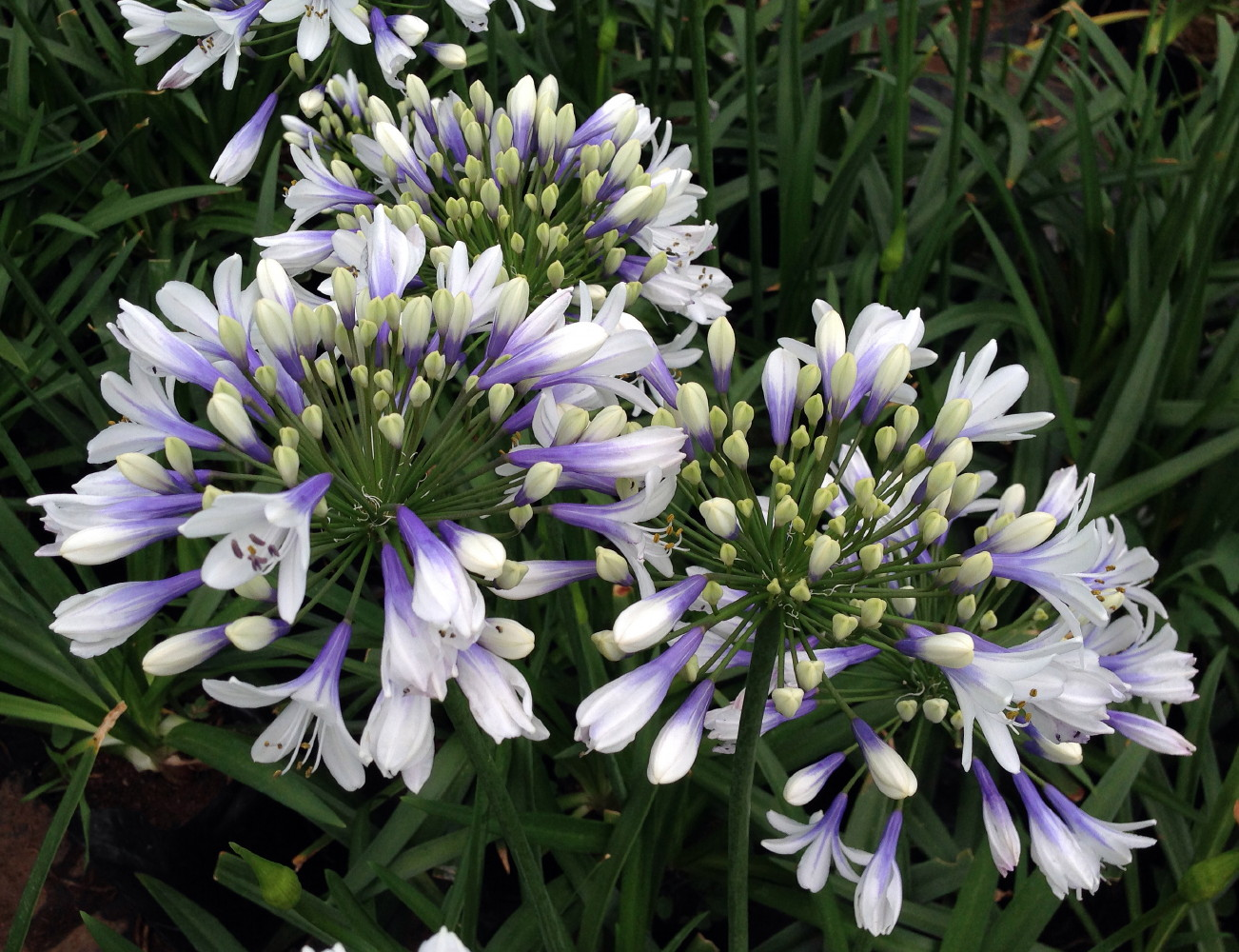 Twister Lily Of The Nile Plant Agapanthus 4 Pot Walmart