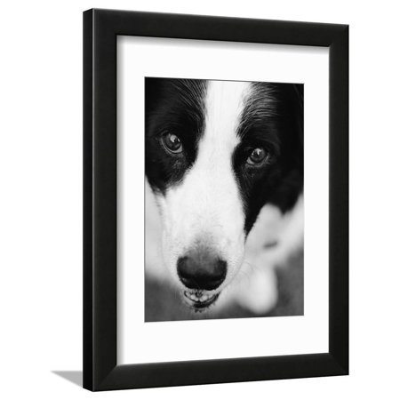 Head of Border Collie Black and White Dog Photo Framed Print Wall Art By Henry