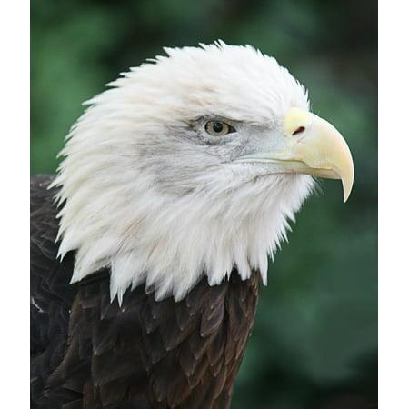 LAMINATED POSTER Bald Eagle Predator Animal Feathered Bird Poster Print 24 x 36