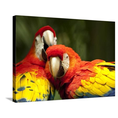 Scarlet Macaws at Zoo Ave Park, Outside San Jose Stretched Canvas Print Wall Art By Paul Souders ()