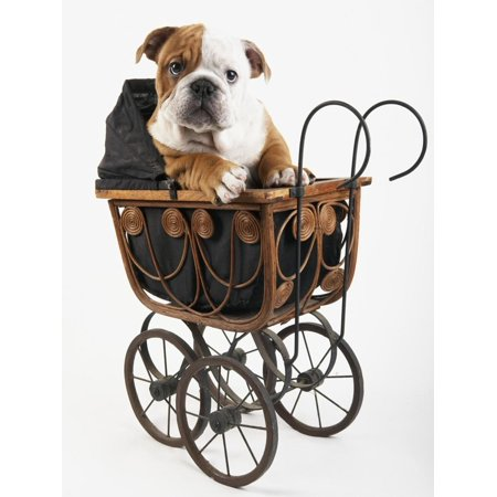 English Bulldog Puppy in a Baby Carriage Print Wall Art By Peter M. (English Bulldogs For Sale In Washington State)