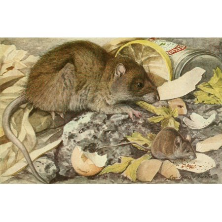 Wild Animals of N America 1918 Brown Rat & House Mouse Poster Print by  LA (Browns Rat Mouse)