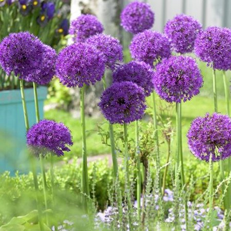 Planting Allium Bulbs (Van Zyverden Allium Purple Sensation Set of 12)