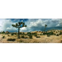 Joshua trees in a desert at sunrise Joshua Tree National Park San Bernardino County California USA Canvas Art - Panoramic Images (6 x 15)