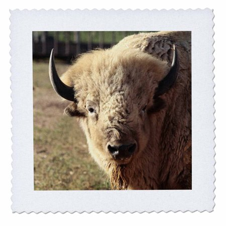 3dRose White buffalo wildlife, Santa Fe, New Mexico - US32 JMR0089 - Julien McRoberts - Quilt Square, 18 by -