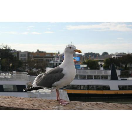Canvas Print Bird Pier 39 Sea Gull Animal San Francisco Stretched Canvas 10 x 14 ()