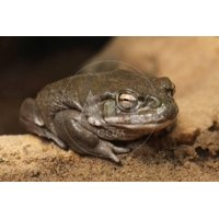 Colorado River Toad (Incilius Alvarius), also known as the Sonoran Desert Toad. Wild Life Animal. Print Wall Art By wrangel