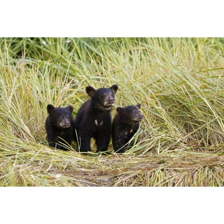 Three Black Bear Cubs Sit On The Grass Covered Shore Of A Creek At Allison Point Valdez Southcentral Alaska Summer PosterPrint ()