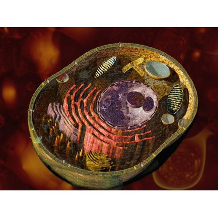 Biomedical Illustration of a Generalized Animal Cell Section Showing its Major Organelles Print Wall Art By Carol & Mike