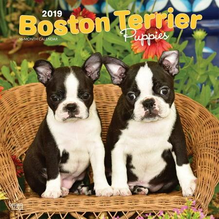 2019 Boston Terrier Puppies Wall Calendar, by