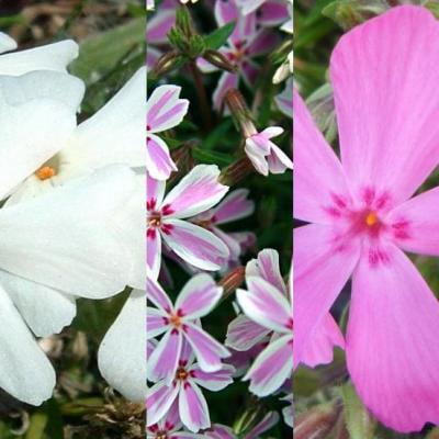 Classy Groundcovers - Phlox Mix, 20% off: 24 Phlox subulata 'Drummond's Pink', 24 Phlox subulata 'Candy Stripe', 24 Phlox subulata 'Snowflake' for $<!---->
