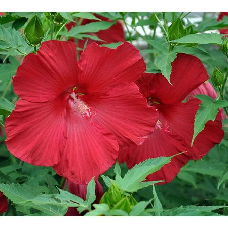 Pinot Noir Giant Hibiscus Rose Mallow Perennial - Huge Flowers - Gallon - Flowers Sonoma Coast Pinot