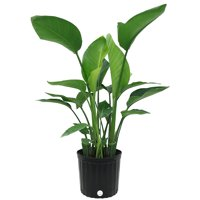 Delray Plants Live 34 to 44 inches Tall White Bird of Paradise (Strelitzia Nicolai) Easy To Grow House Plant, in 10-inch Grower Pot