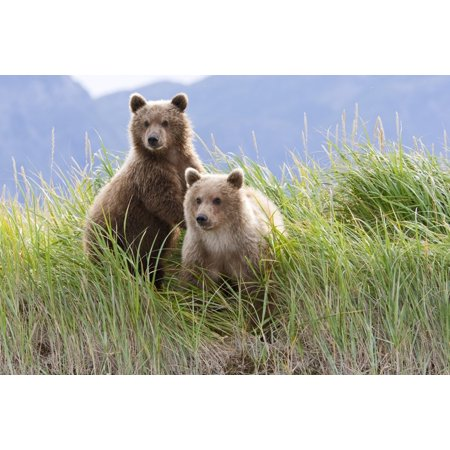 Bear Cubs Standing On A Riverbank At Hallo Bay Katmai National Park Alaska Canvas Art - Kent Fredriksson  Design Pics (17 x 11) Alaska Cub Bear Knife