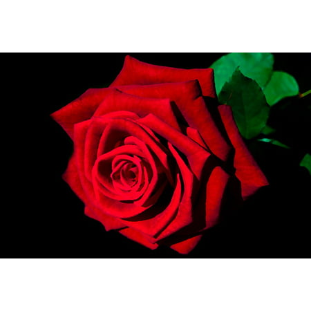 LAMINATED POSTER Painted Rose Art Flower Painting Red Love Poster Print 24 x 36 - Painted Flower