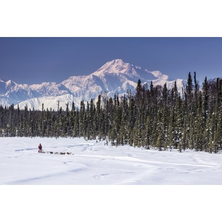 During Spring Training - Dog musher Martin Buser runs his team during a spring training run on a lake with Mt Mckinley and Alaska Range in the background Southcentral Alaska Stretched Canvas - Jeff Schultz  Design Pics (19 x