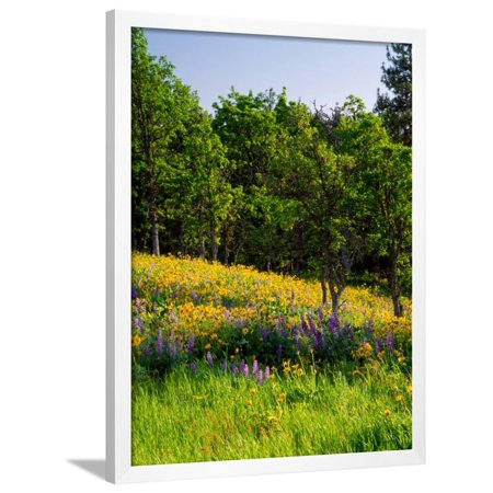 Balsamroot and Lupine flowers blooming in a forest, Tom McCall Nature Preserve, Columbia River G... Framed Print Wall Art