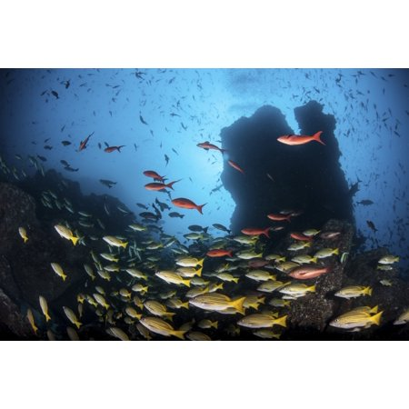 Schooling fish swim over a rocky reef near Cocos Island Costa Rica Canvas Art - Ethan DanielsStocktrek Images (17 x 12)
