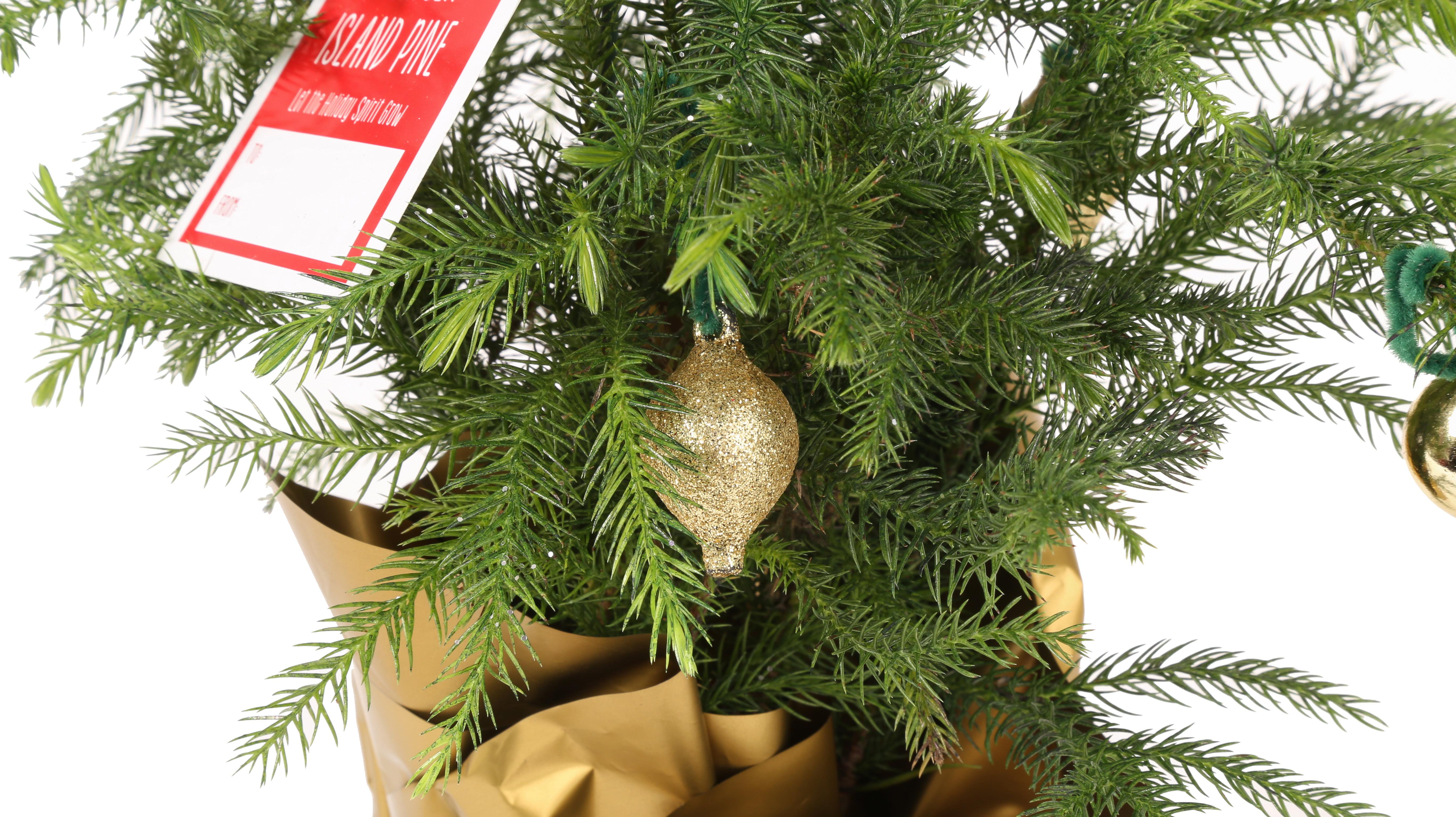 Delray Plants Live Norfolk Island Pine (Mini Christmas Tree), 4 pack ...