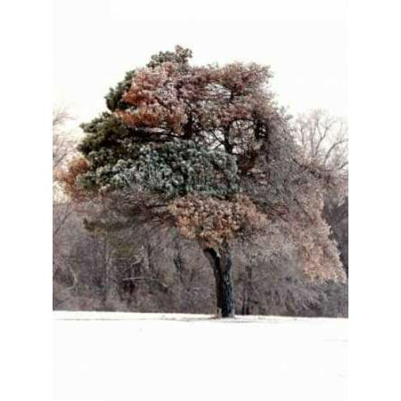 Tree in Snow I Canvas Art - Tammy Putman (22 x 28) ()