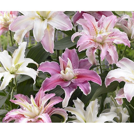 Oriental Double Rose-lily Mix