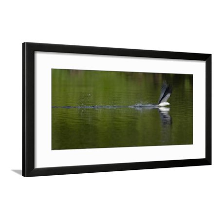 Swallow-tailed coming down to drink, Lake Woodruff National Wildlife Refuge, Florida, USA Framed Print Wall Art By Maresa Pryor ()