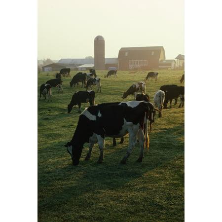 Dairy Cattle Grazing Canvas Art - Natural Selection David Spier Design Pics (12 x 18)