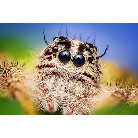 LAMINATED POSTER Hyluss Jumping Spider Insecta Spider Macro Diard Poster 24x16 Adhesive Decal