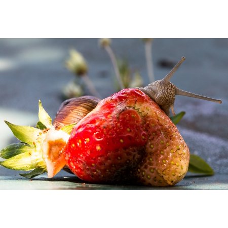 LAMINATED POSTER Fruit Snail Eat Food Strawberry Nature Shell Poster Print 24 x 36 - Slimy Foods For Halloween