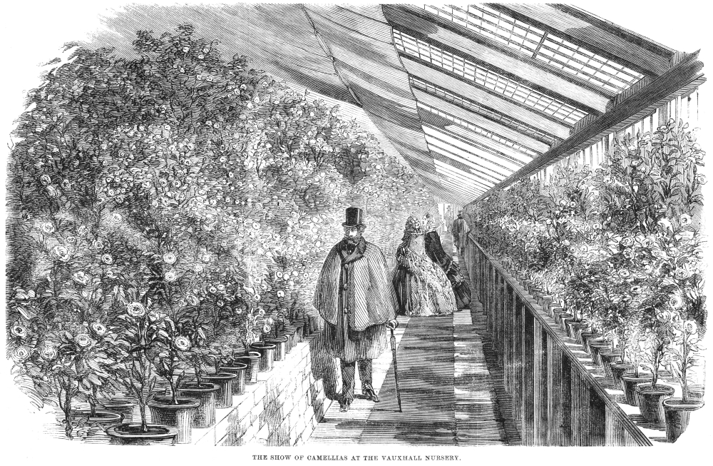 Botany Vauxhall Gardens NThe Show Of Camellias At The Vauxhall Nursery The Greenhouse Of A Plant Nursery At Vauxhall... by Granger Collection