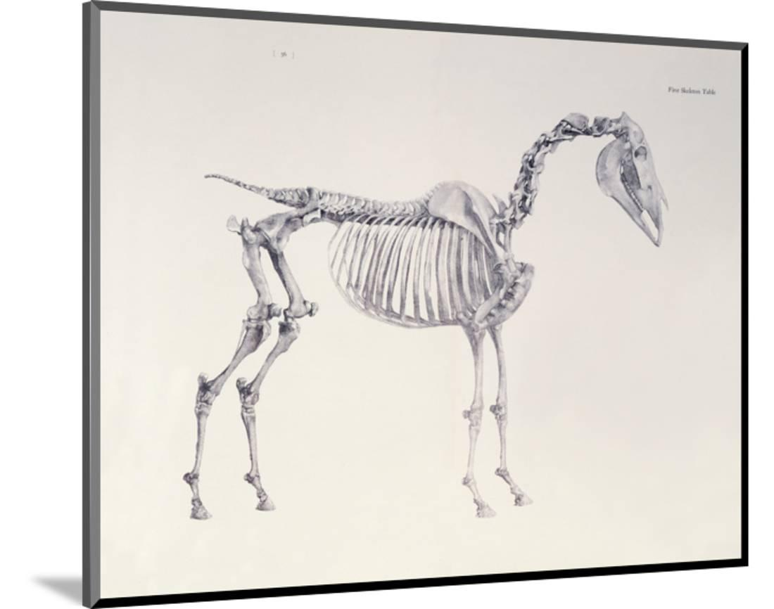 First Skeleton Table From The Anatomy Of The Horse Wood Mounted