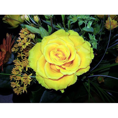 Nu Gold Miniature Rose Bush - Fragrant/Hardy - 4
