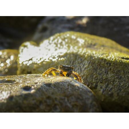 LAMINATED POSTER Sea Animal Cancer Crab Poster Print 24 x 36