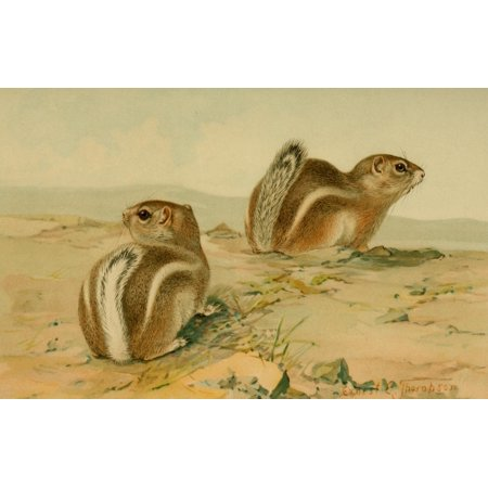 North American Fauna 1938 Antelope Squirrels Stretched Canvas - EE Thompson (18 x 24)