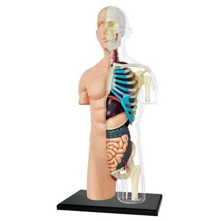 4D Half Clear Human Torso Anatomy Model - Walmart.com