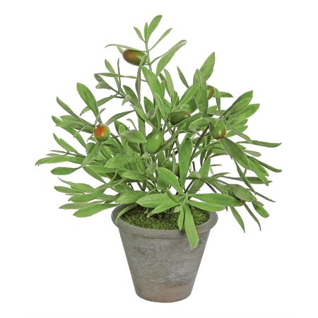 Potted Olive Plant