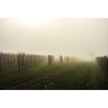 Canvas Print Vineyard Vines Autumn Back Light Fog Light Cold Stretched Canvas 10 x (Vineyard Vines Canvas)